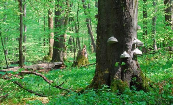 Буковые леса Германии